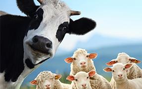 反芻(chu)動物-牛羊